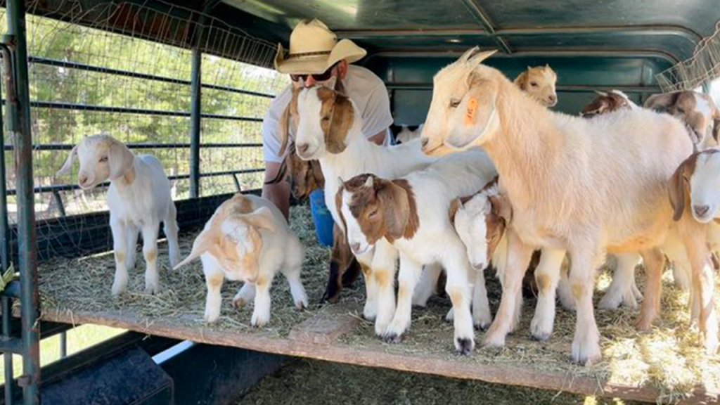 Goats Ready To Clear Brush