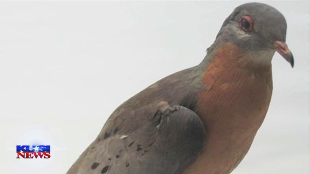 World Of Wonder: Carrier Pigeons