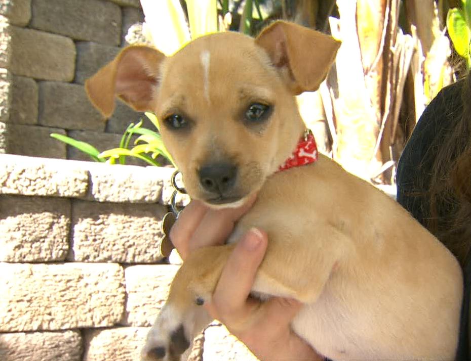 Roberto The Chihuahua
