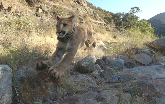Mountain Lion Rehabilitated