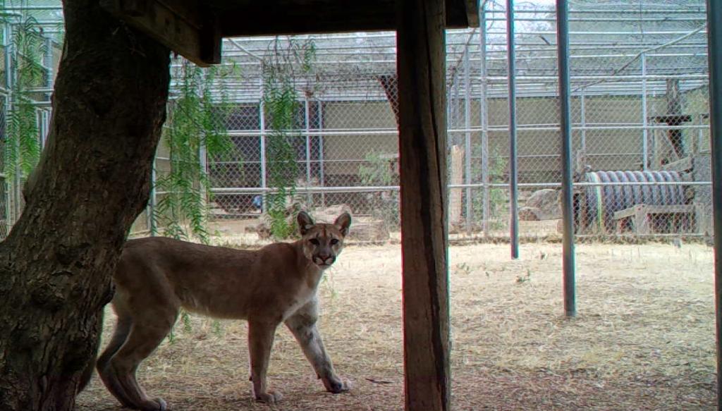 Mountain Lion 21 782 72521 Photo Credit San Diego Humane Society