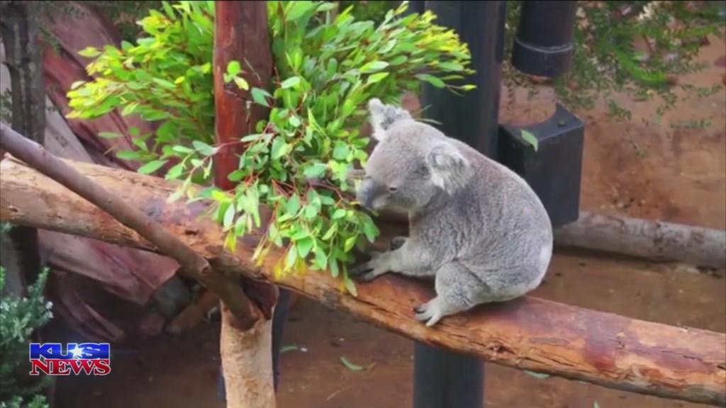 World Of Wonder: Koalas