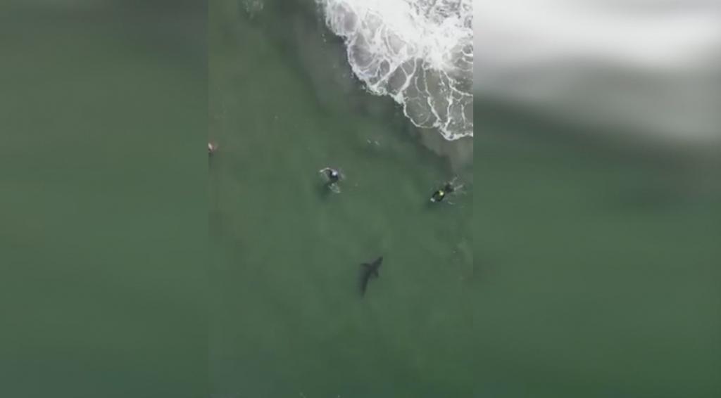 Shark Del Mar