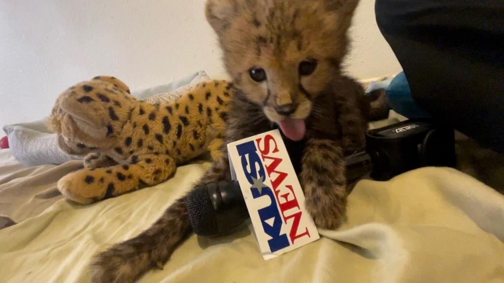 Cheetah Cub Featured