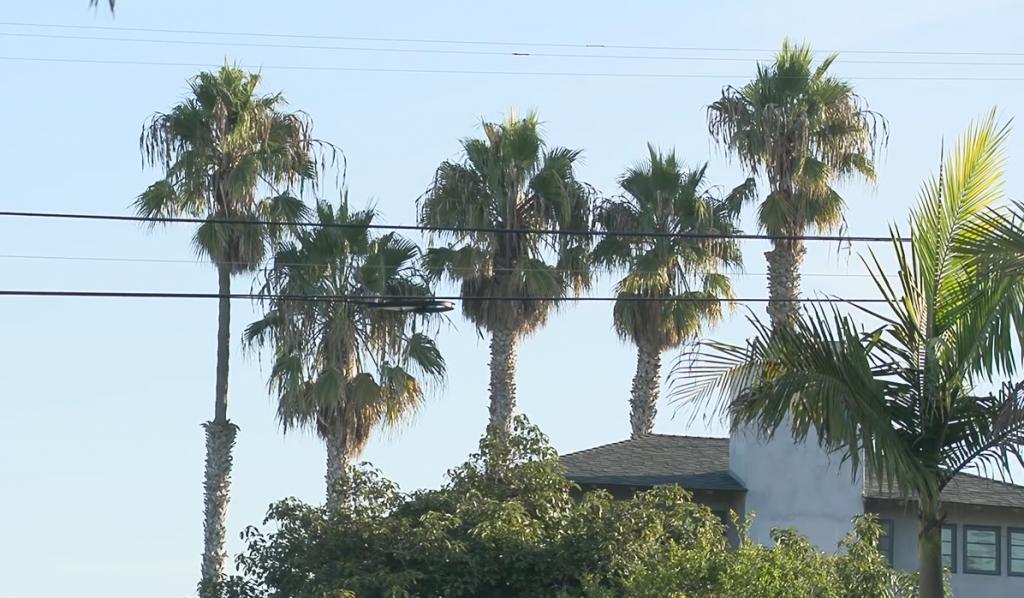 Newport Palm Trees