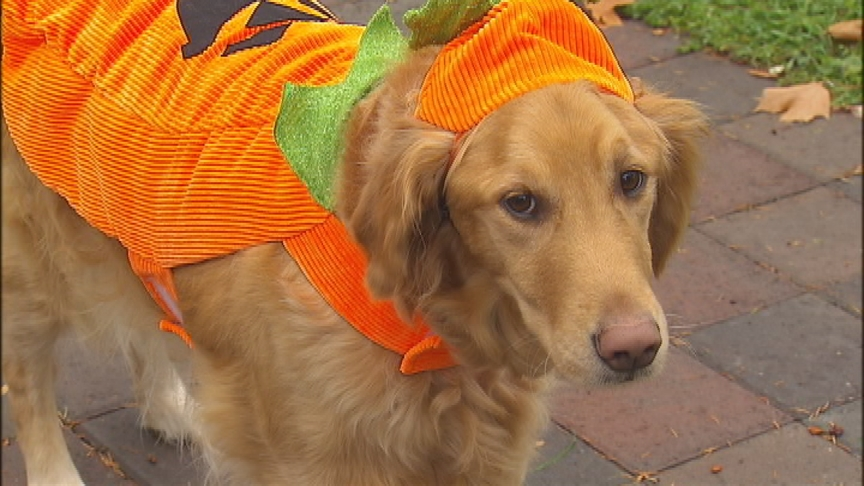Halloween brings with it a number of dangers for your pets, veterinarians stress safety
