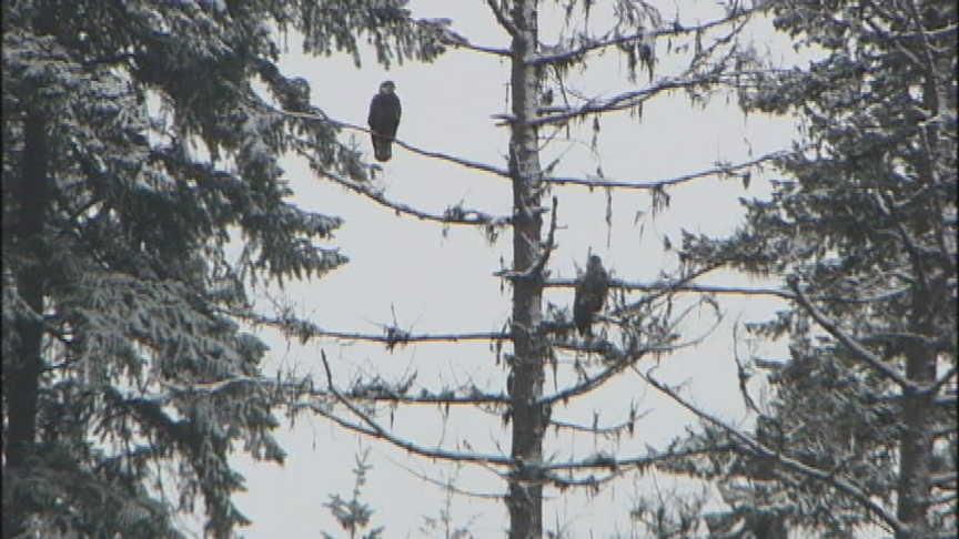 Raptor biologists say they have counted record number of bald eagles on Lake Coeur d'Alene