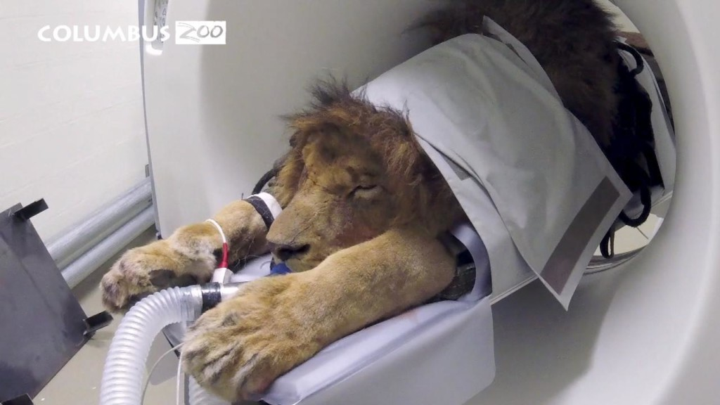 Big cat gets a CAT Scan