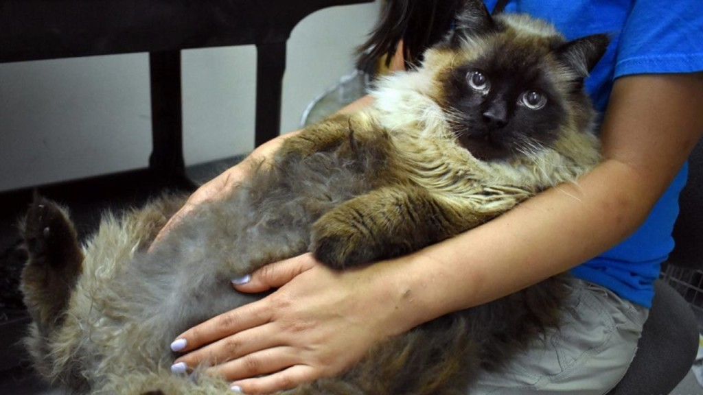 Enormous 29-pound cat needs home after being found on California street