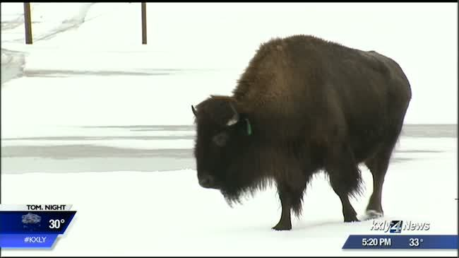 Yellowstone plans to capture more than 600 bison
