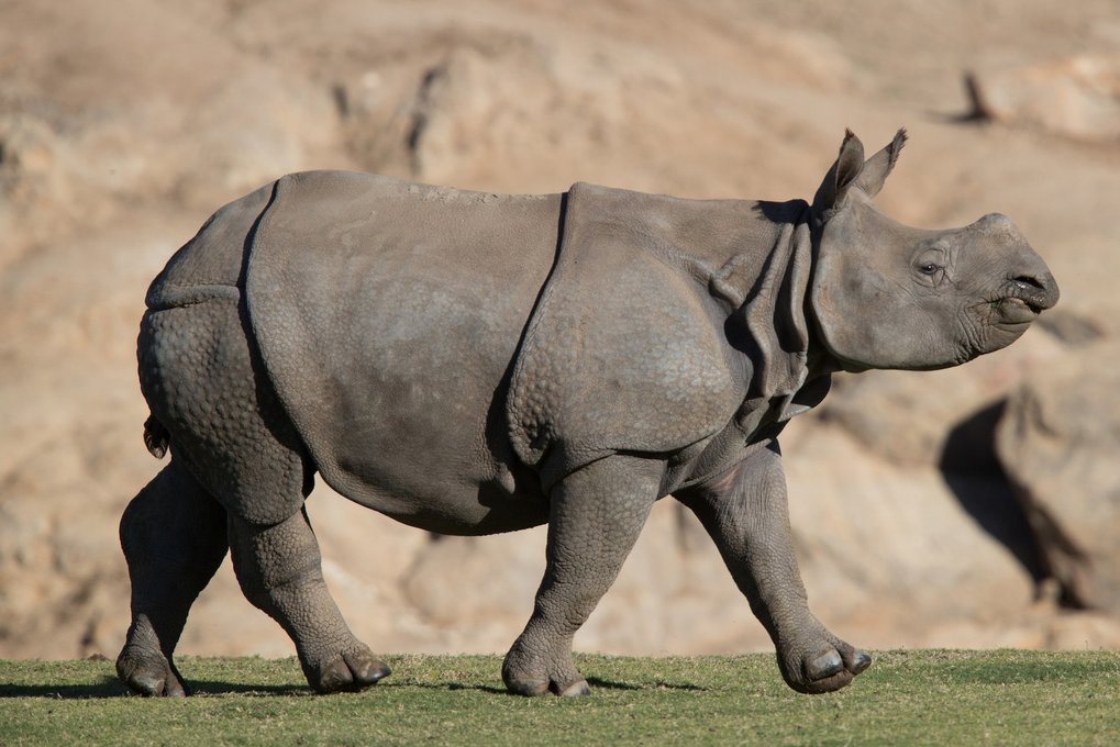 Woodland Park Zoo takes in first of 2 rhinos for new exhibit