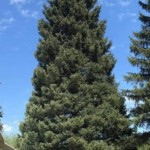Tree cut from Kootenai National Forest for U.S. Capitol