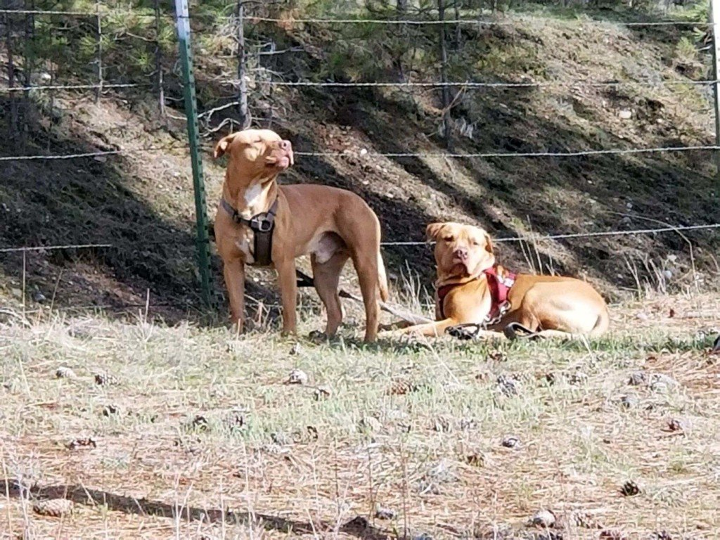 Stevens County Deputies put down aggressive, loose pit bulls
