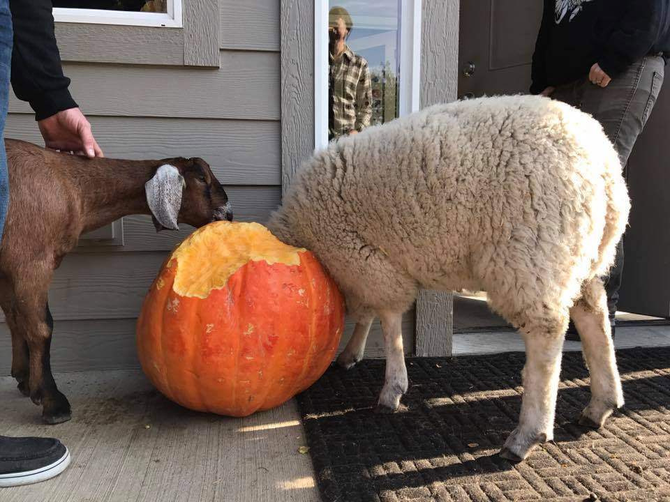 Local animal sanctuary could use your leftover pumpkins