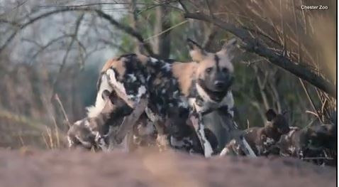Rare African painted dog pups make first appearance trying to keep up with mom