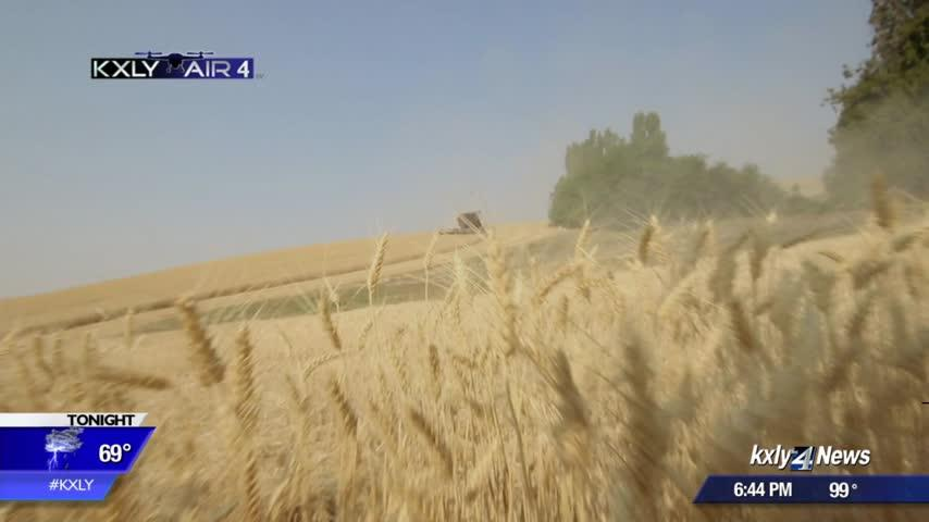 Research looks for solution to wheat, barley disease