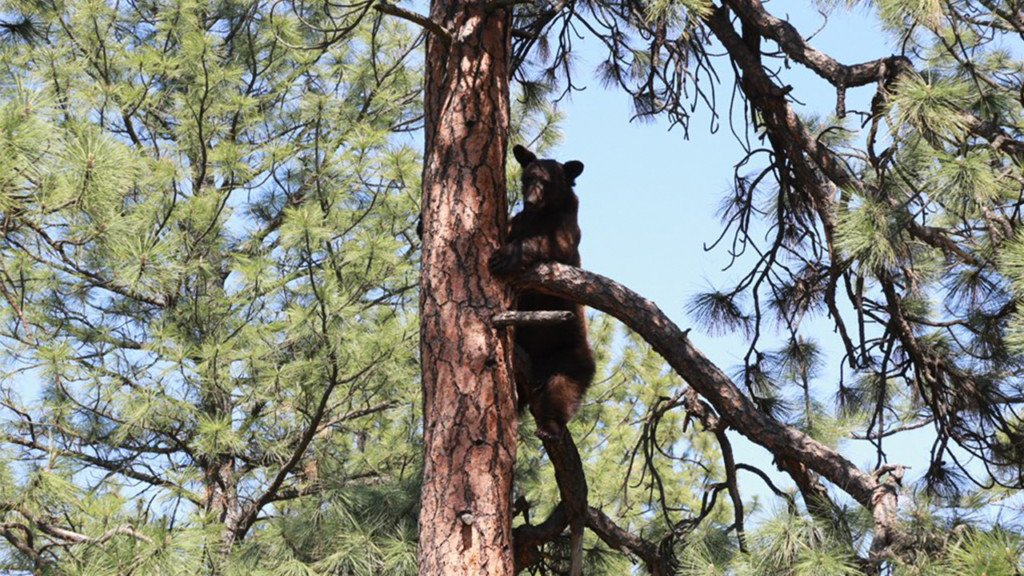Wildlife agents working to remove bear stuck in tree in Spokane Valley