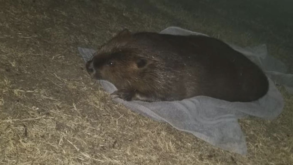 Police arrest man for sexually assaulting beaver