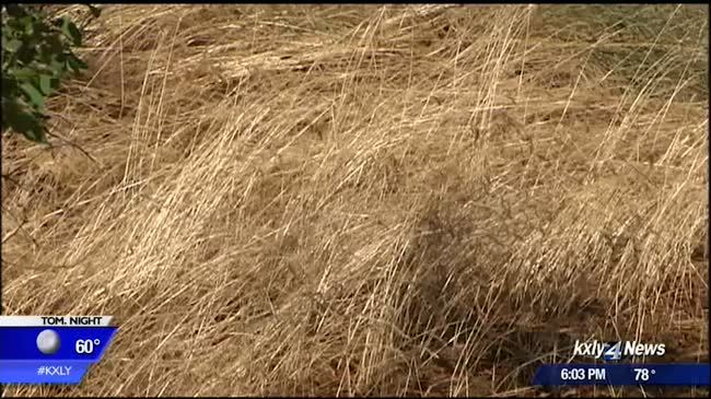 Brown grass easy fuel for summer fires