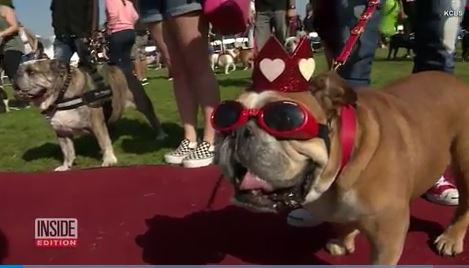 Bulldog puppies and seniors compete in annual beauty contest