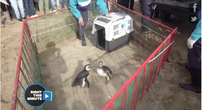 Penguins can't wait to return to the ocean