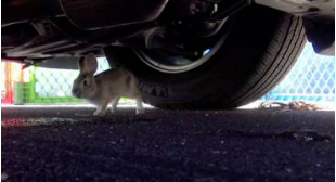 Bunny rescued from dangerous freeway