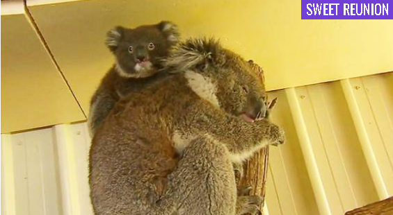 Community cares for baby koala