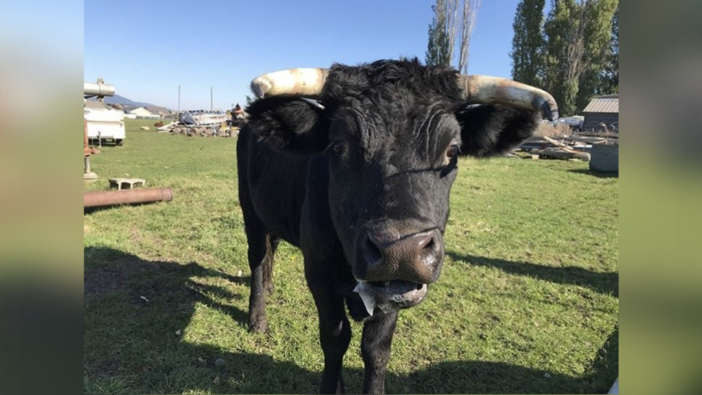 North Idaho residents raise money to keep friendly steer out of slaughter house