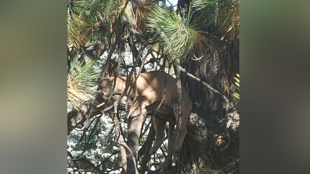Coeur d'Alene cougar euthanized by Idaho Fish and Game