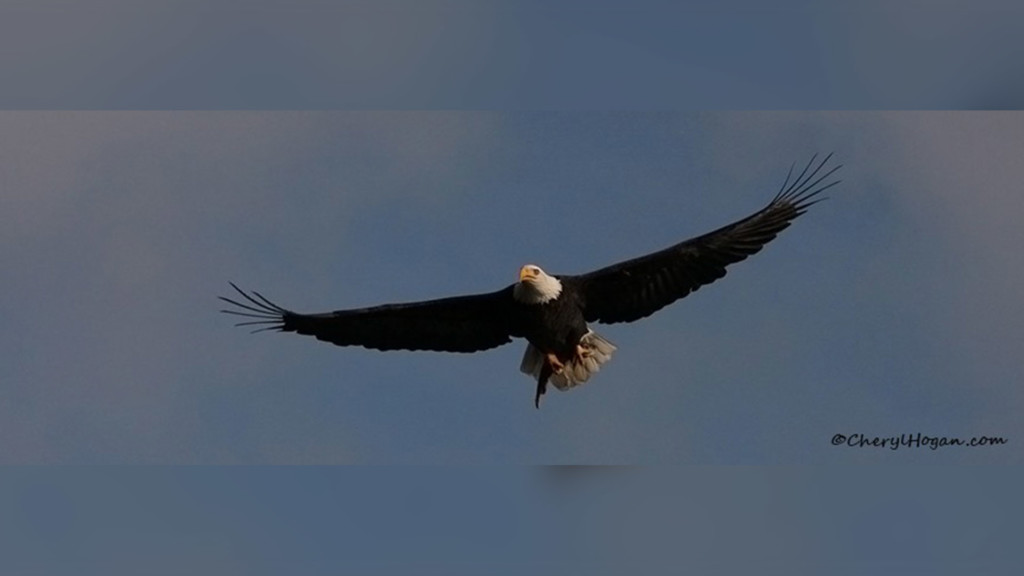 Over 100 eagles spotted in Coeur d'Alene as migration season continues