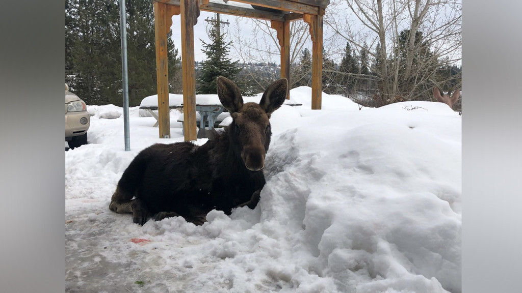 Wildlife officials warn Eagle Ridge residents against feeding baby moose