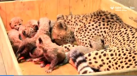 Cheetah's an octomom after giving birth to record 8 cubs