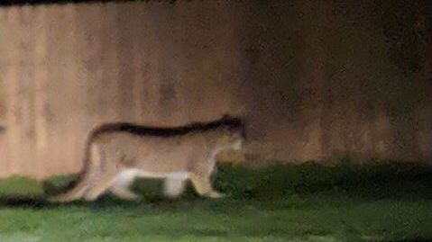Cougar killed after attacking child in Leavenworth