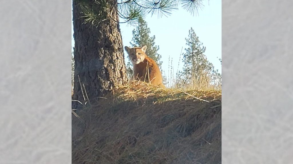 Fish and Wildlife kill cougar spotted near Chattaroy Elementary