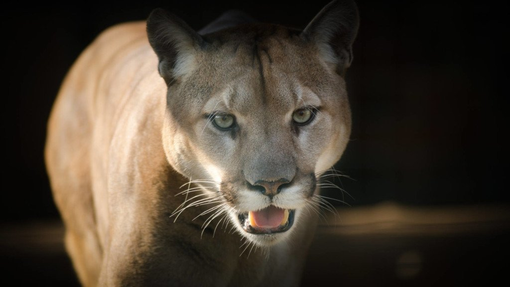 Deputies: Cougar near Ephrata likely wandered back into wilderness