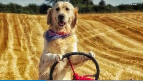 This dog loves driving tractors