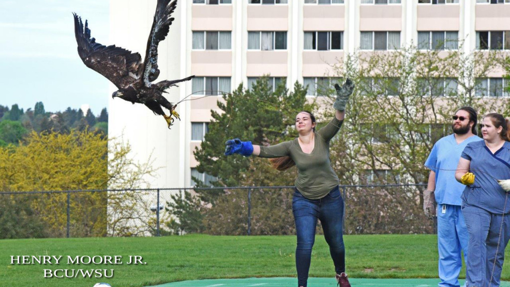 WSU veterinarians prepare eagle to be released back into the wild