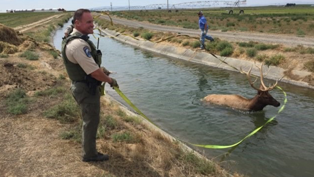 WDFW Officers fish an elk out of a canal in north Franklin County