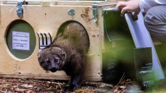 WDFW releases eight fishers as part of effort to reintroduce species to North Cascades