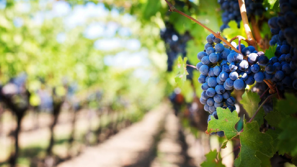 Vineyards ready for healthy harvest after fighting off smoke, heat and low precipitation