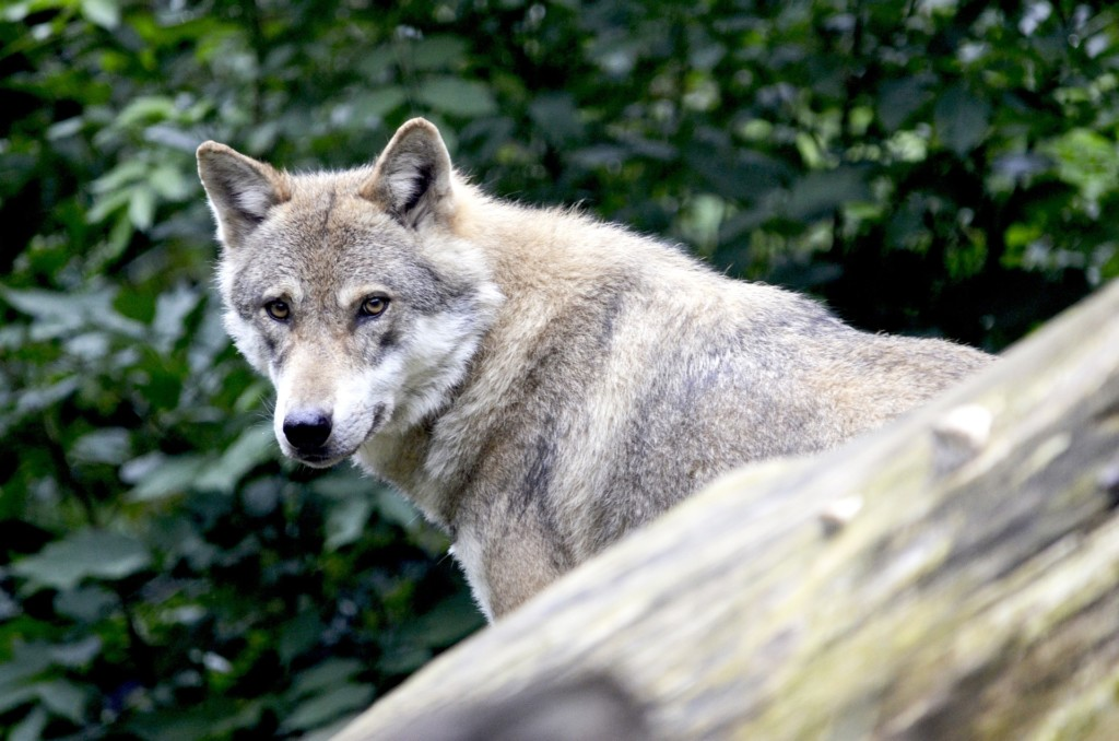 Judge blocks Ferry County wolf hunt