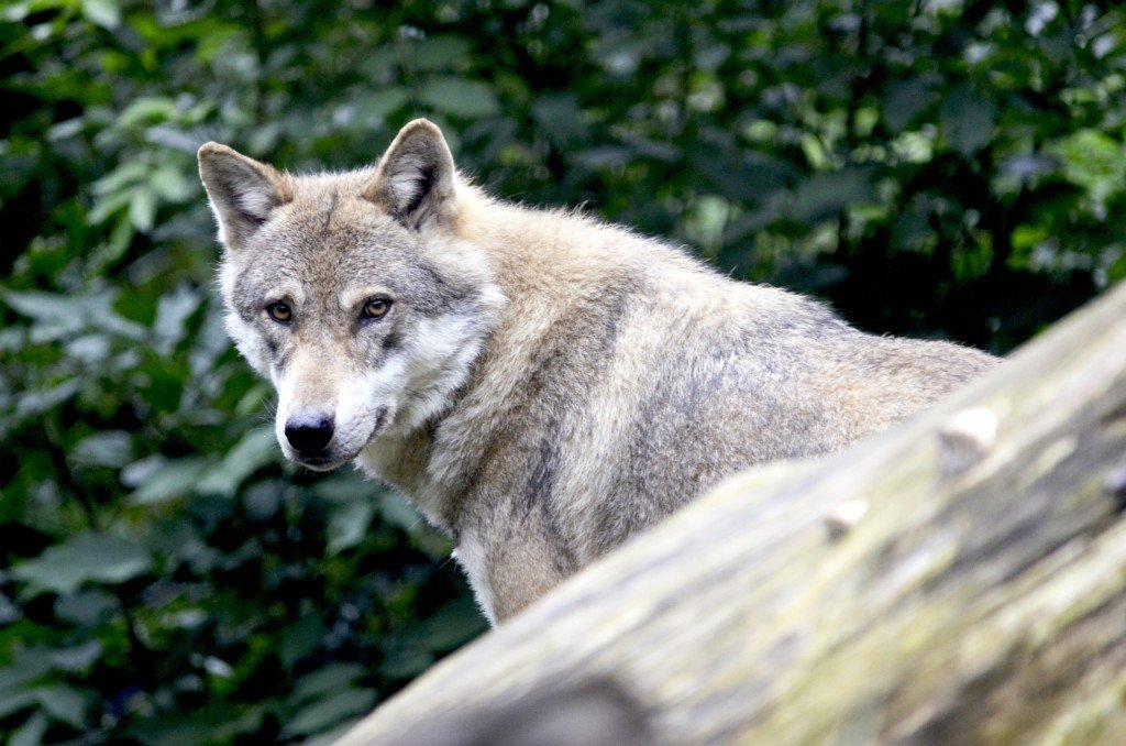 Kill order reinstated for wolves after livestock attacks in Colville National Forest