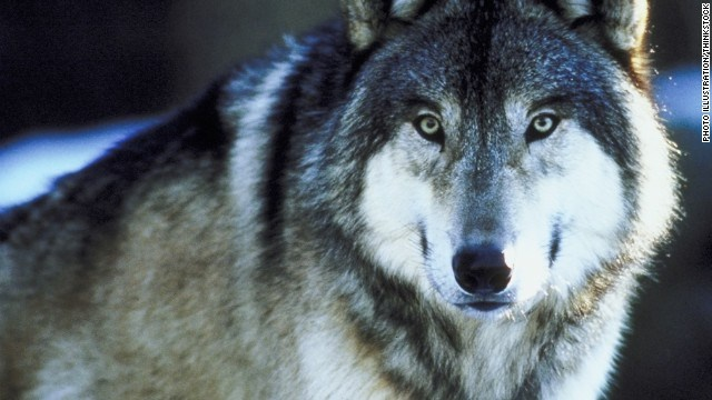 No wolves killed at Idaho predator derby