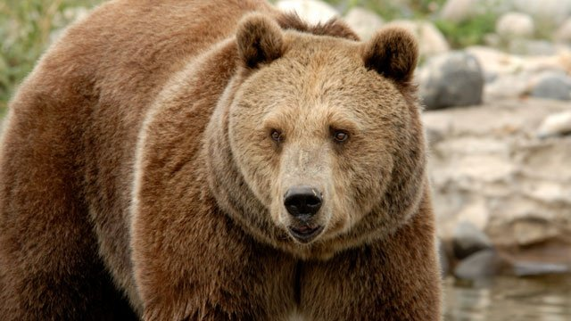 Officials: Hunter shot grizzlies in Montana in self-defense