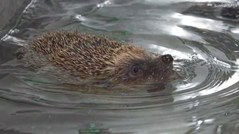 Injured hedgehog named after Michael Phelps swims laps in pint-sized pool