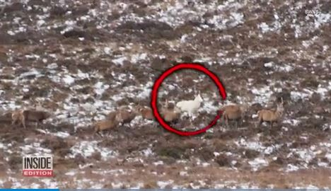 Hikers on bachelor party spot rare white deer among herd of 200
