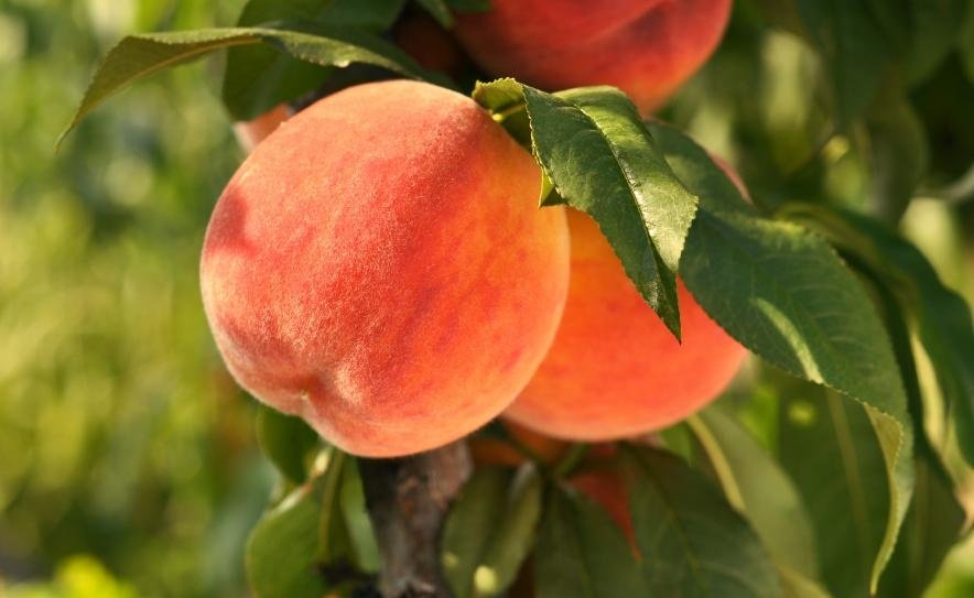 """It's the best peach picking season in years,"" Green Bluff growers boast"