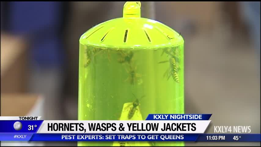 Hornets, wasps and yellow jackets: pest experts say now is the time to set traps