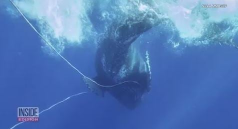Rescue team rushes to free entangled humpback whale near Hawaii
