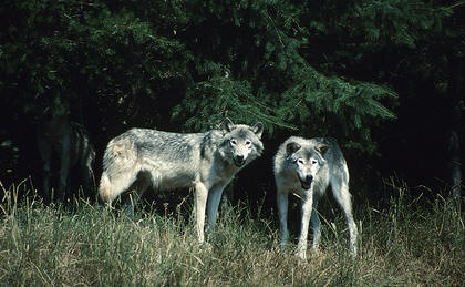 Newspaper: Killing of wolf pack leads to death threats